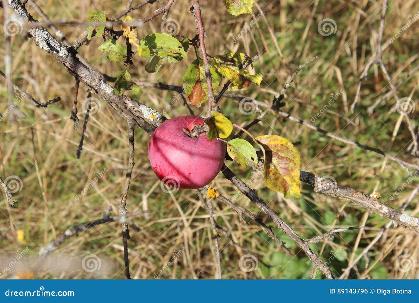 Czerwony jabłko na gałąź