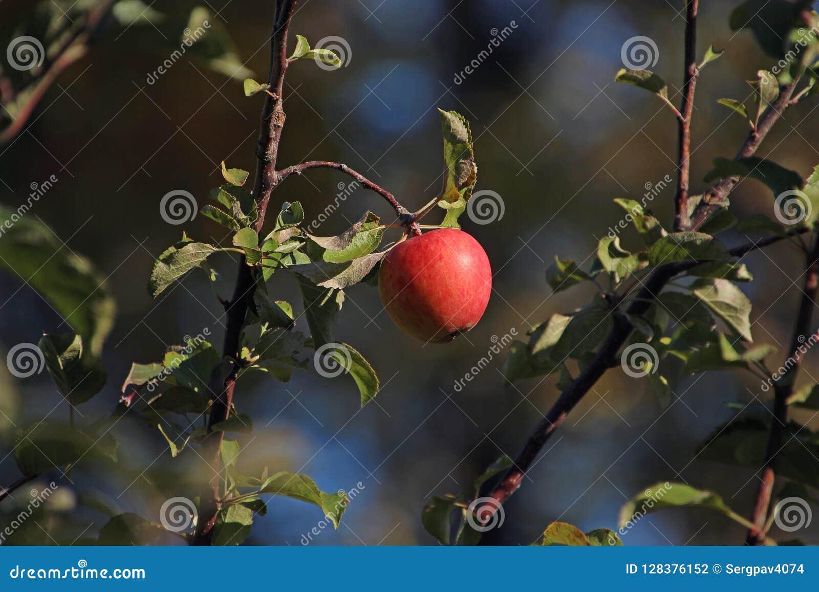 Czerwony jabłko na jabłoni gałąź