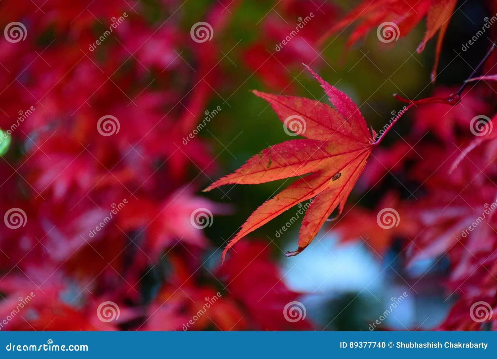 Czerwony Japońskiego klonu ulistnienie w naturalnym tle