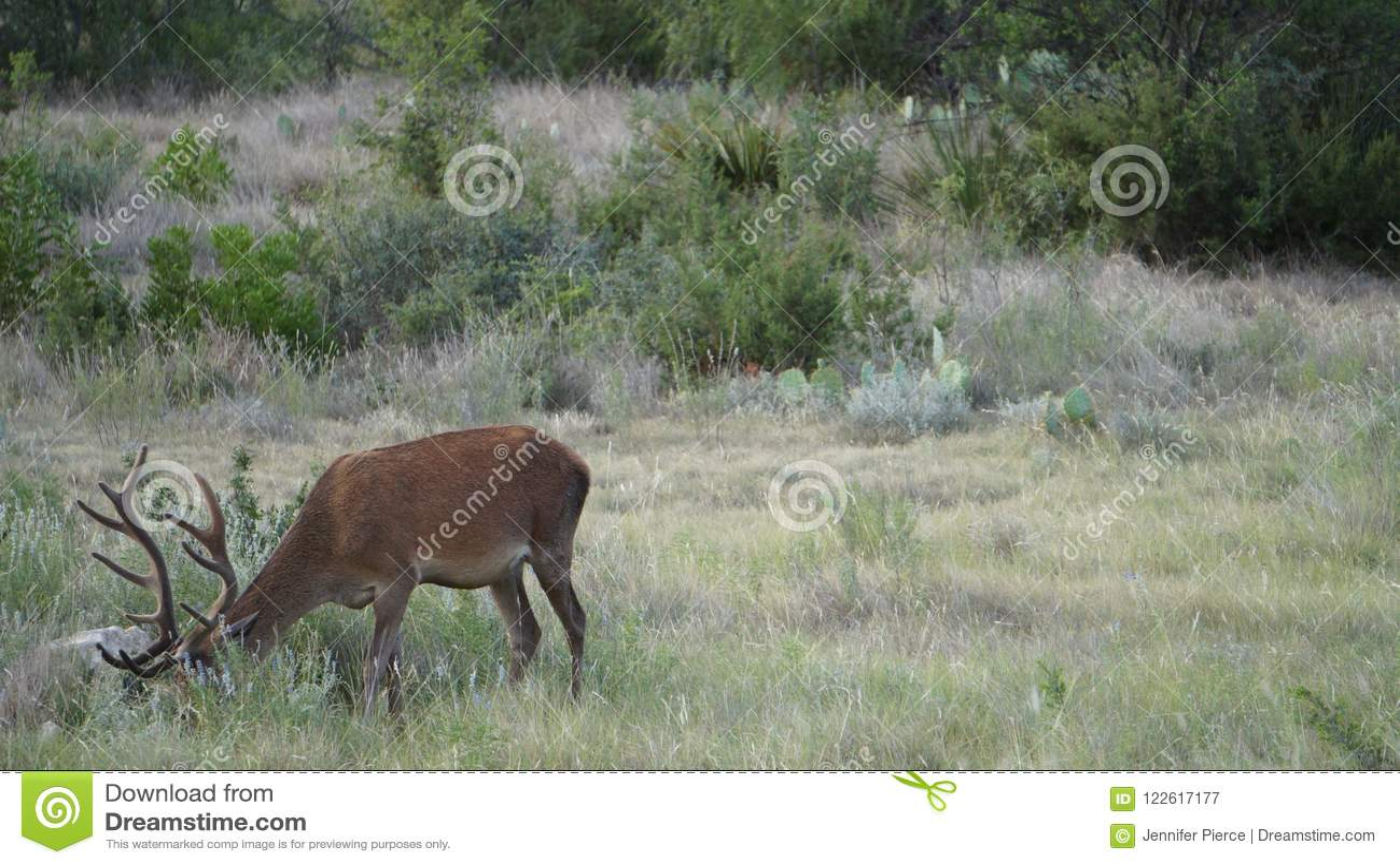 Czerwony jeleń samiec tło