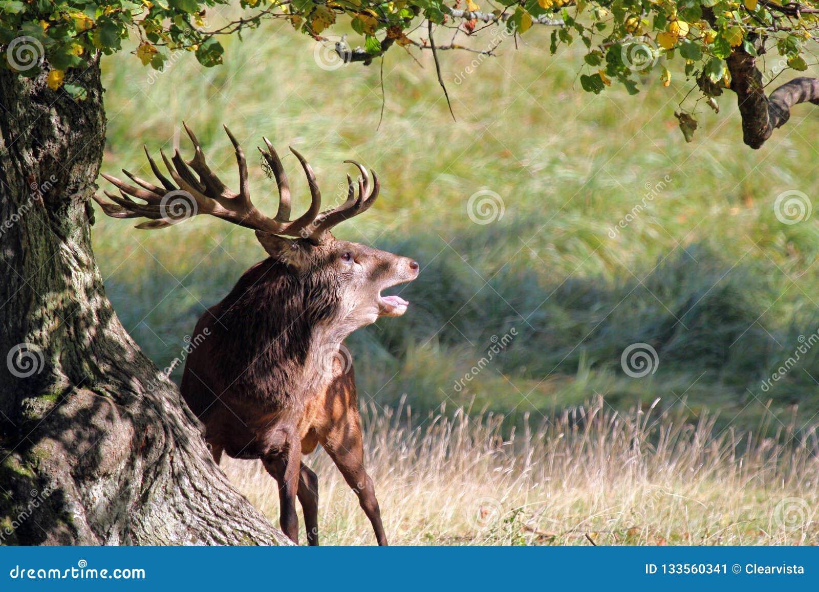 Czerwony jelenia huczenie w rutting sezonie