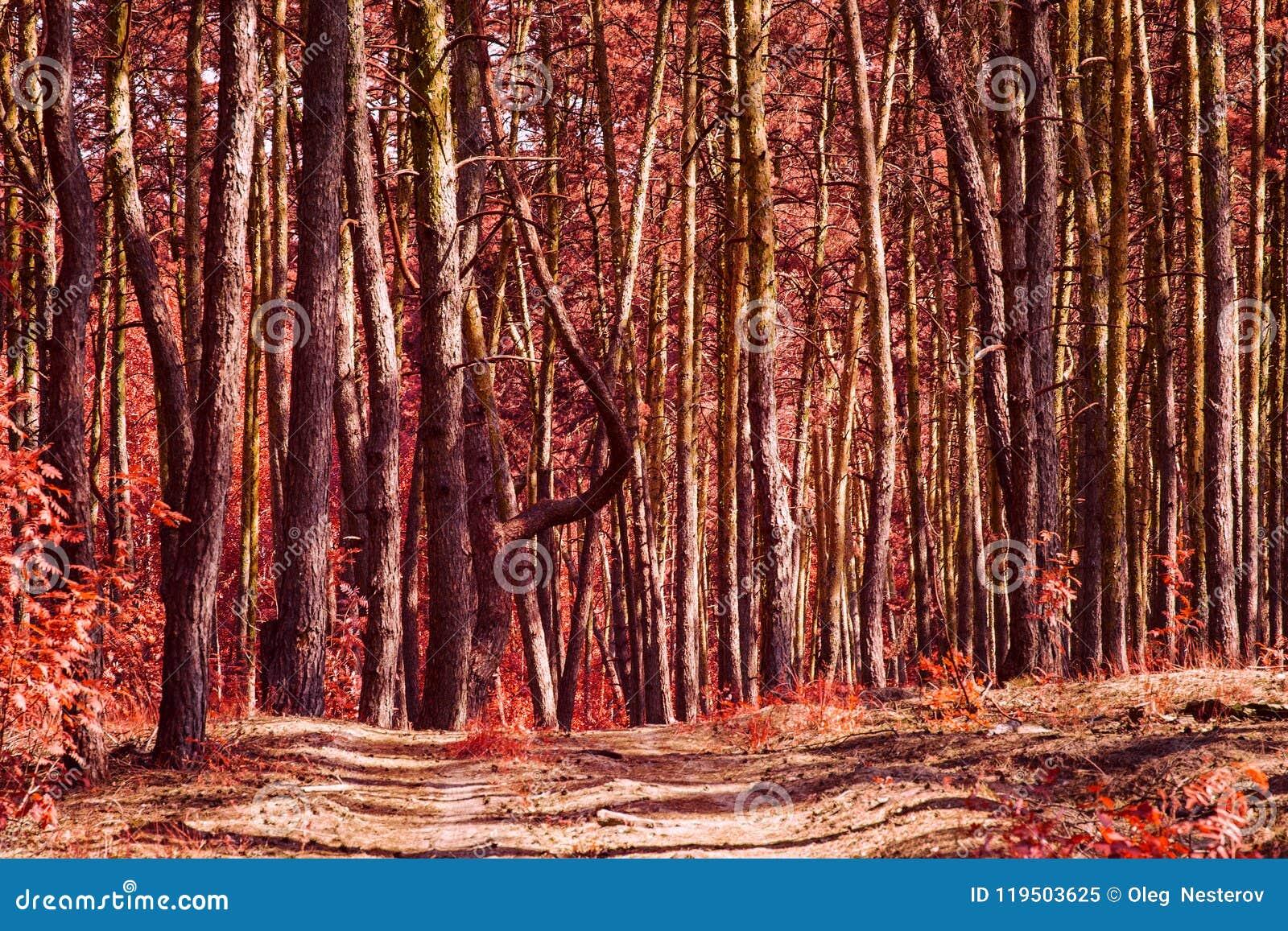 Czerwony jesień las z wysokimi tajemniczymi sosnami