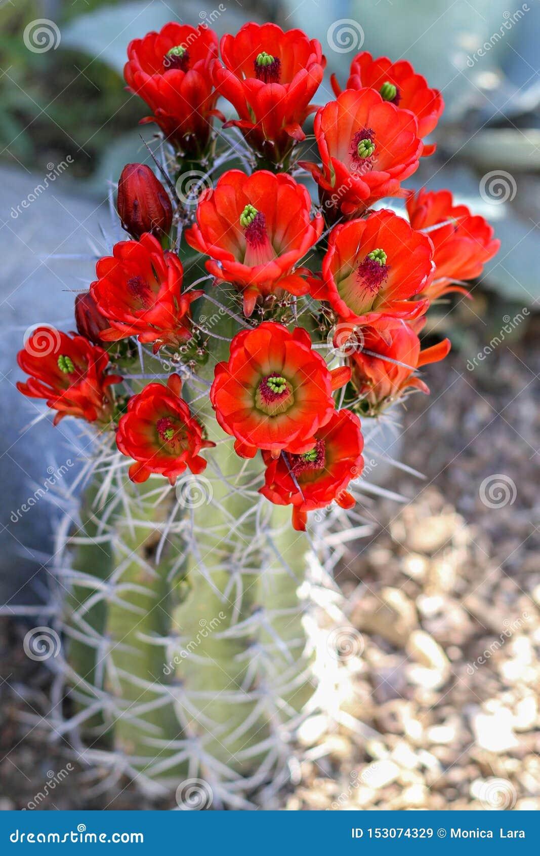 Czerwony kaktus Kwitnie kwitnienie