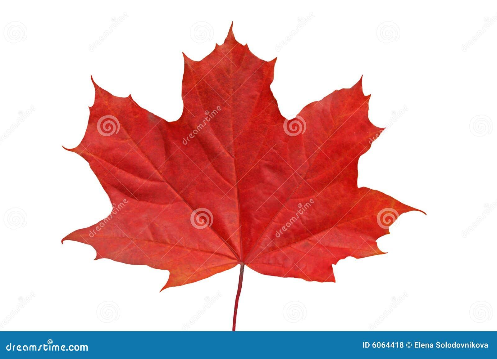 Czerwony klonów liściach