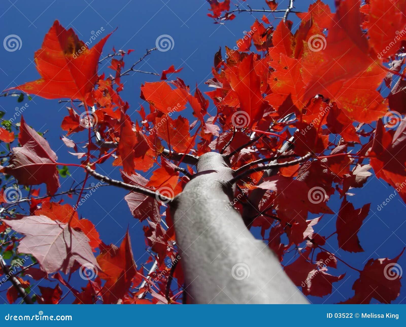 Czerwony klonowy drzewo.