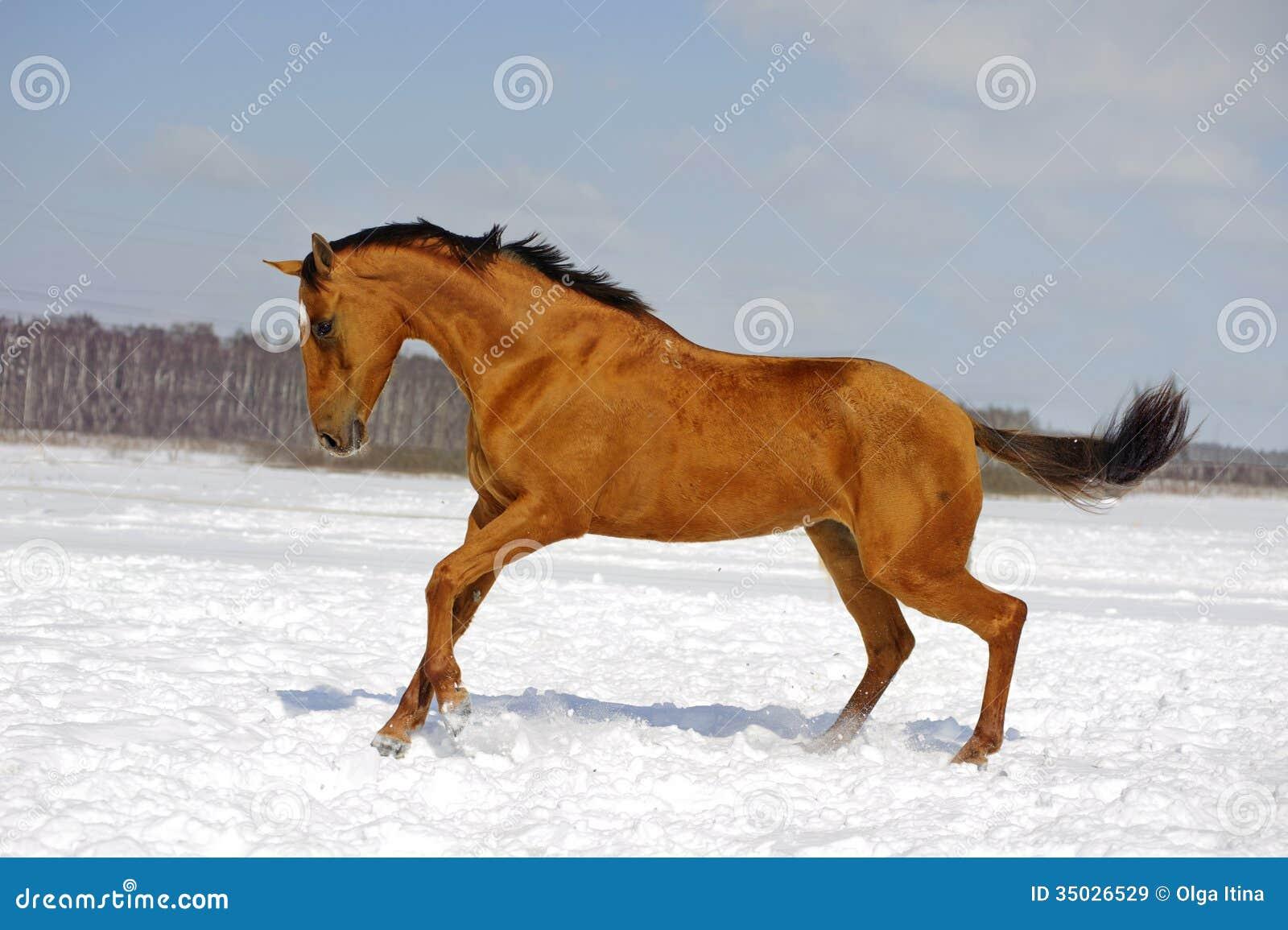 Czerwony koński bieg w zimie