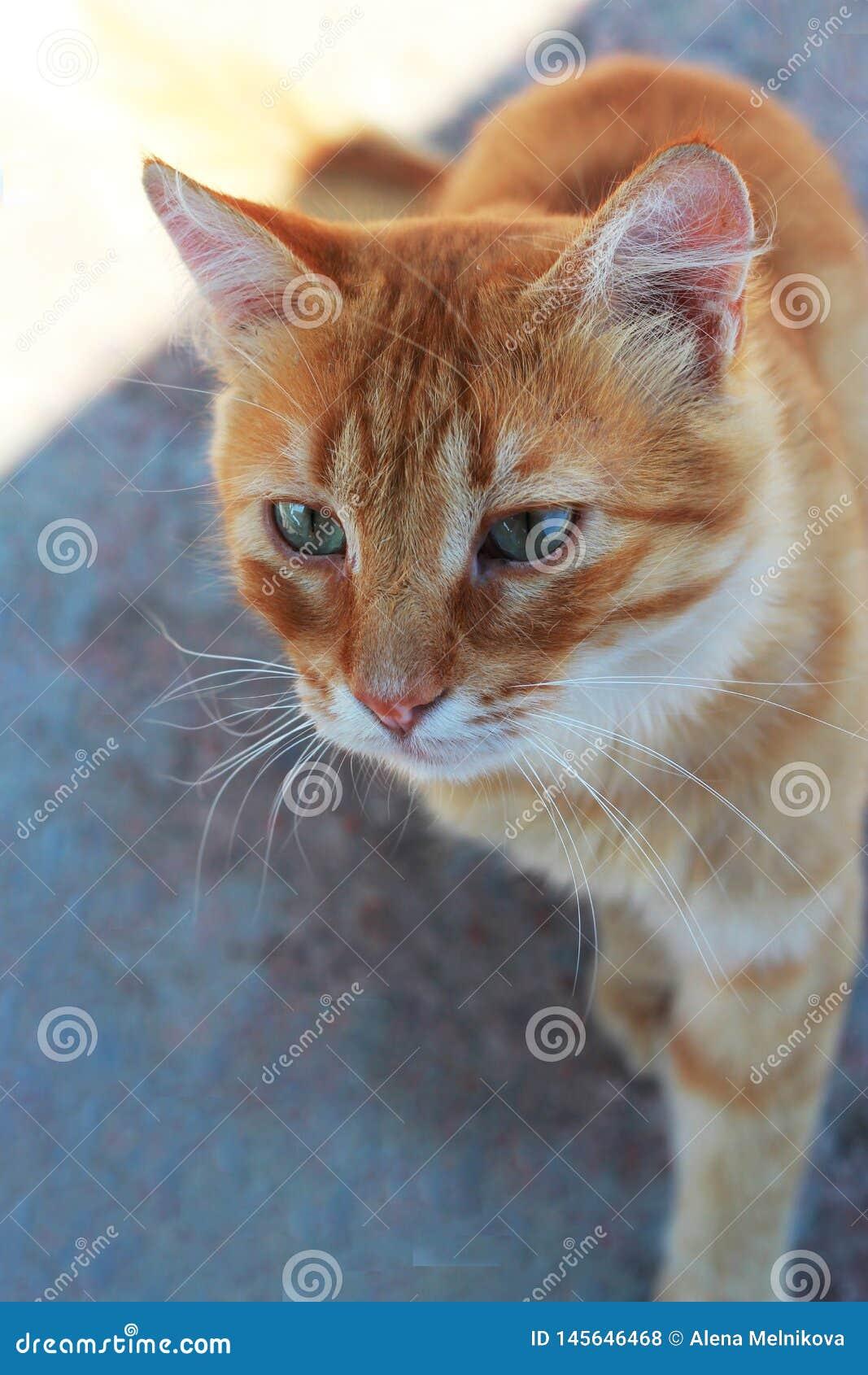 Czerwony kot z niebieskimi oczami jest na asfalcie