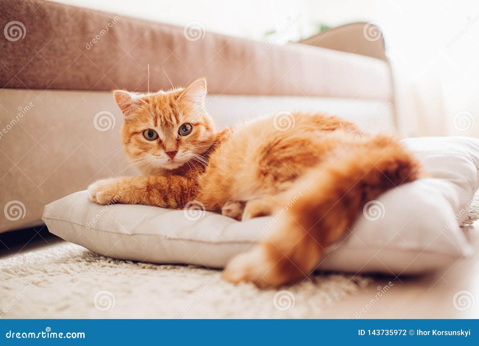Czerwony kota lying on the beach na poduszce w domu