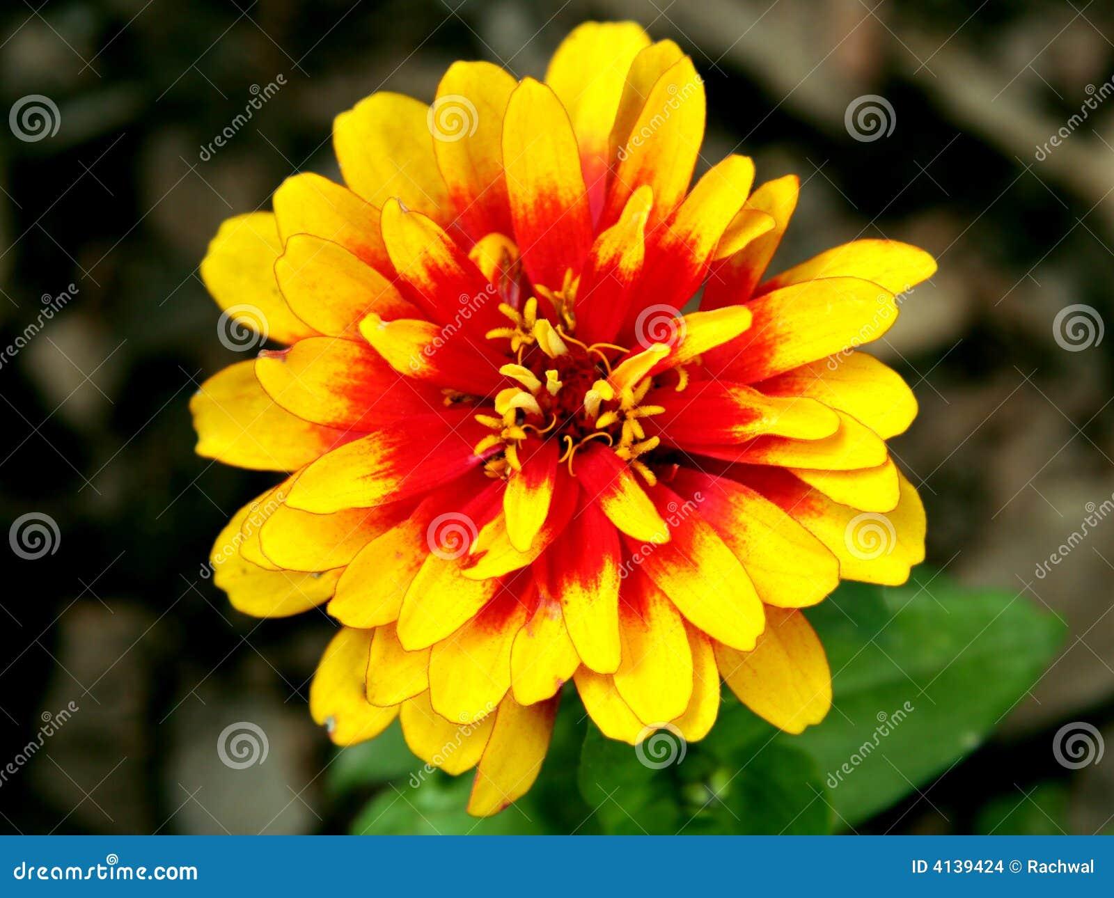 Czerwony kwiat zbliżony do żółtego