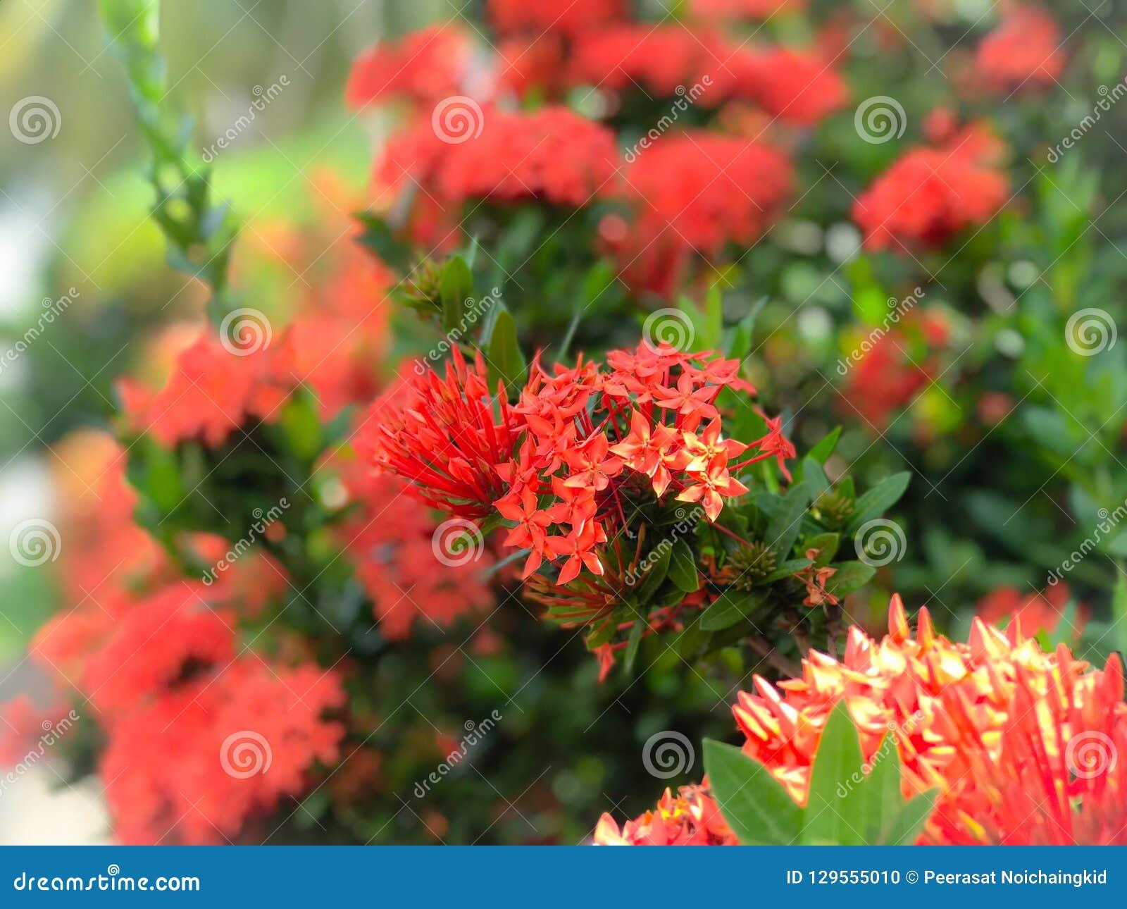 Czerwony kwiatu kolec kwitnie pięknego kwiatu