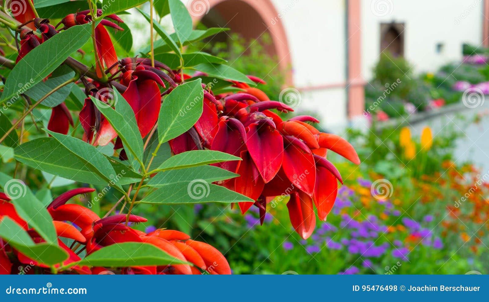 Czerwony kwitnienie kwitnie w ogródzie