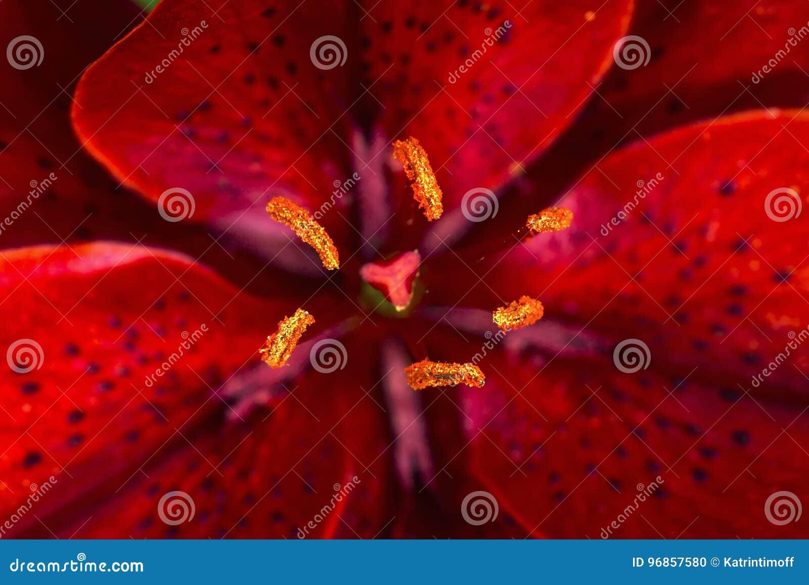 Czerwony leluja kwiatu zbliżenia widok