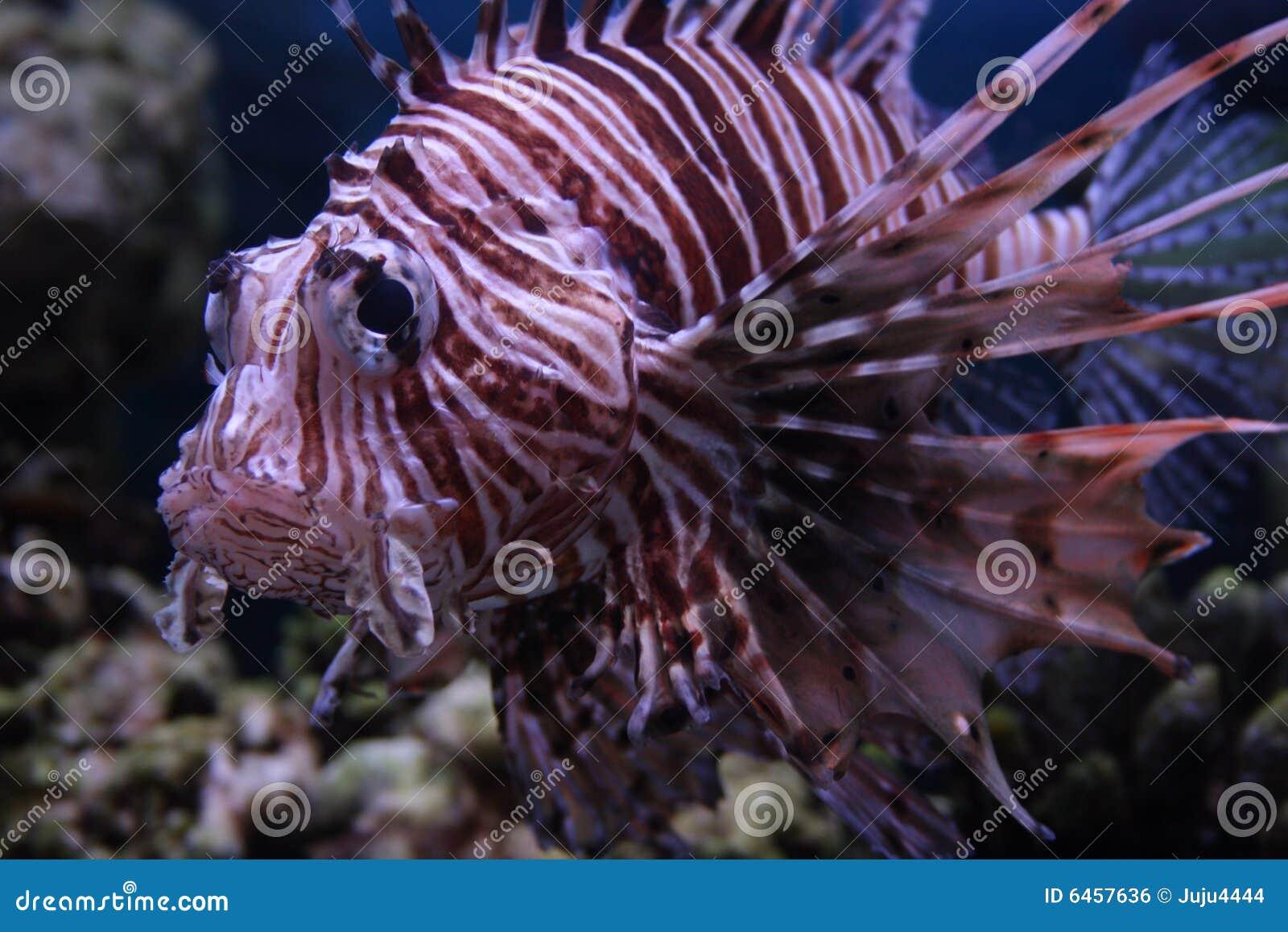 Czerwony lionfish ryb