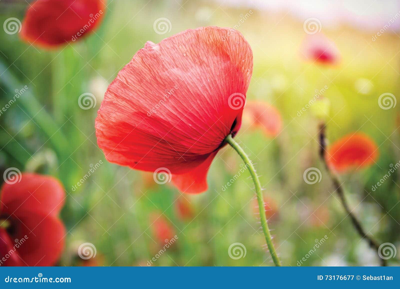 Czerwony makowy kwiat