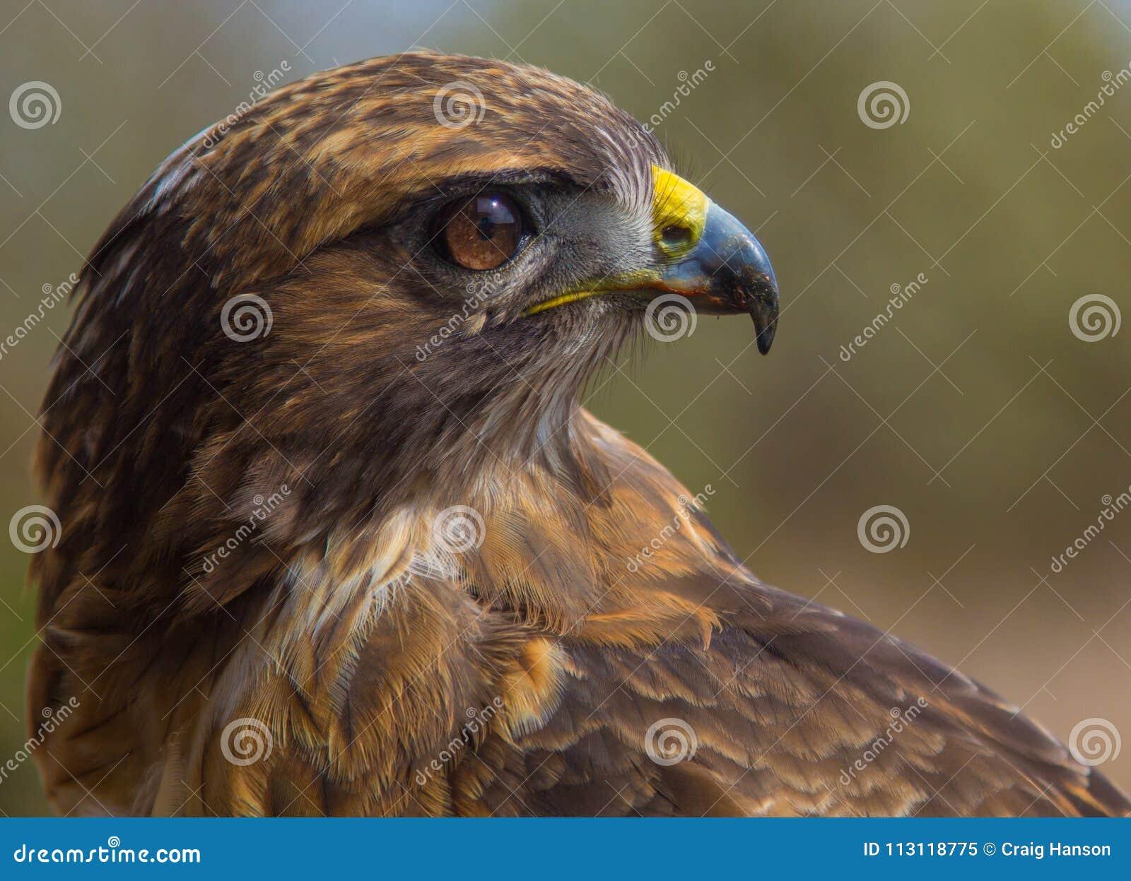 Czerwony ogoniasta hawk