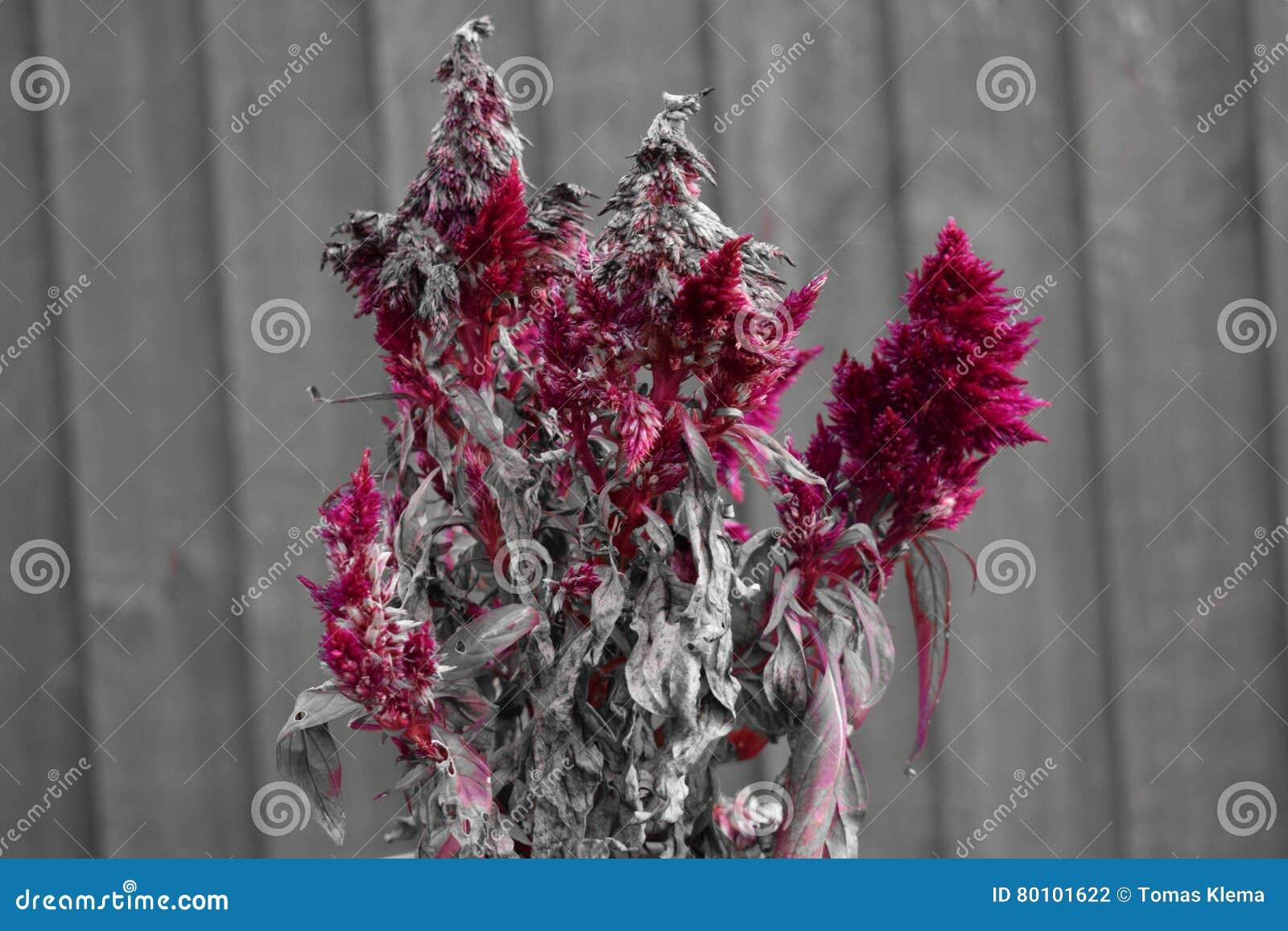 Czerwony osuszka kwiat z drewnianym ogrodzeniem w tle