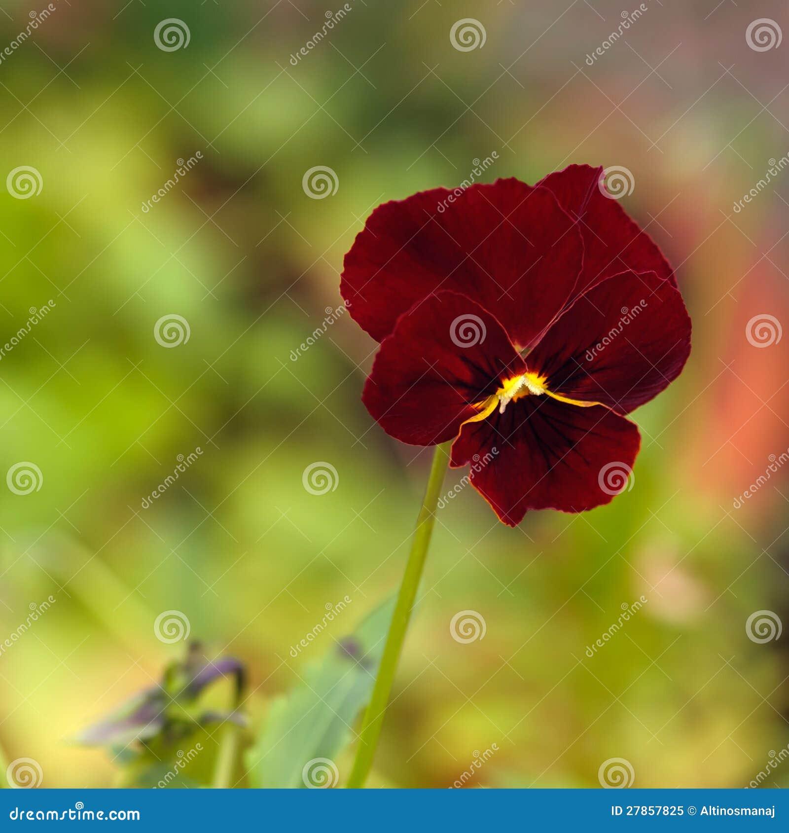 Czerwony Pansy kwiat - ogrodnictwo