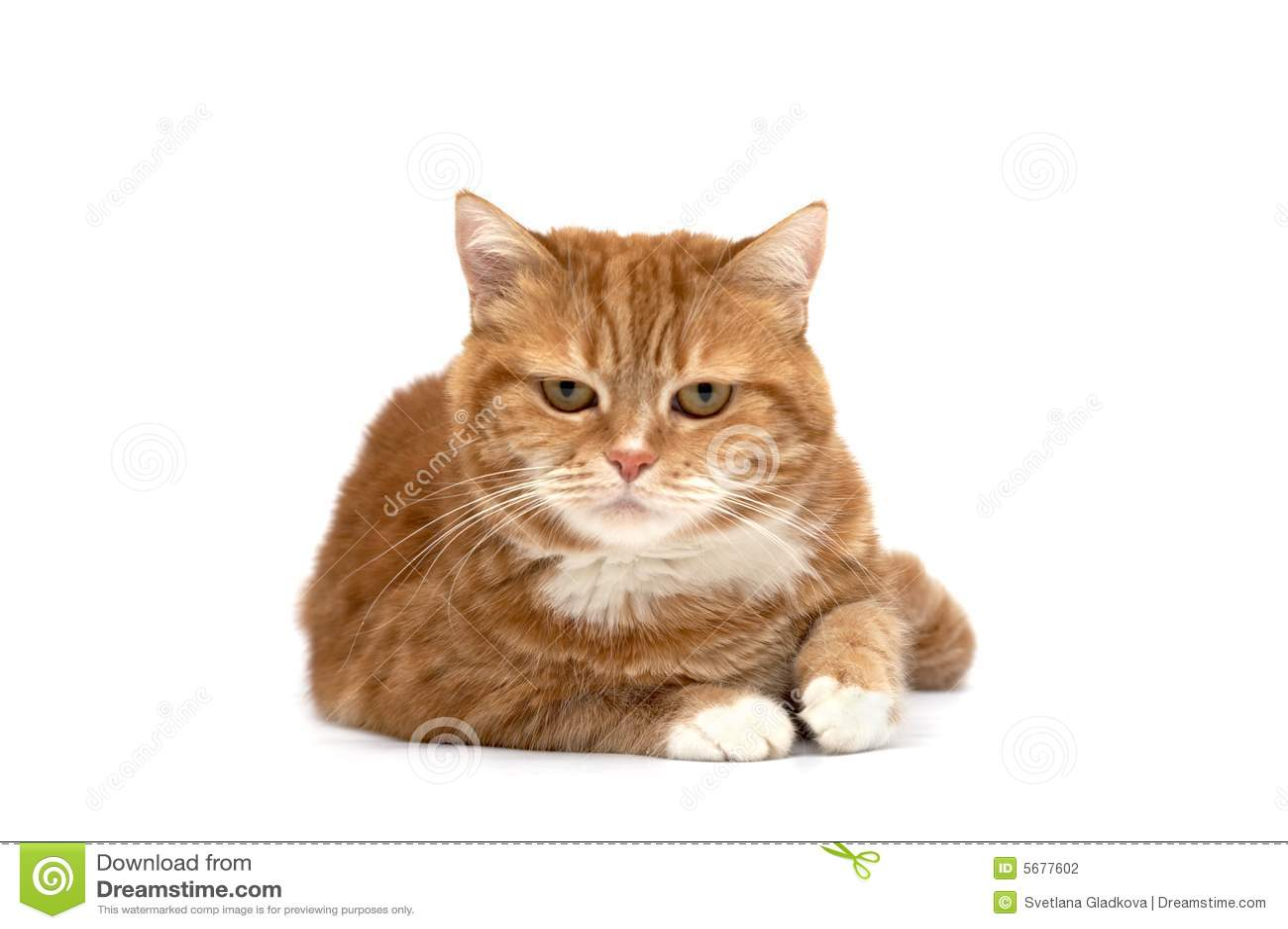Czerwony pomarańczowej kotów oczu