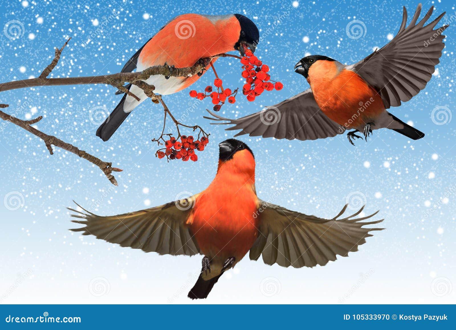 Czerwony ptak zapadać w sen zimowy w ogrodowym śniegu i niebieskim niebie