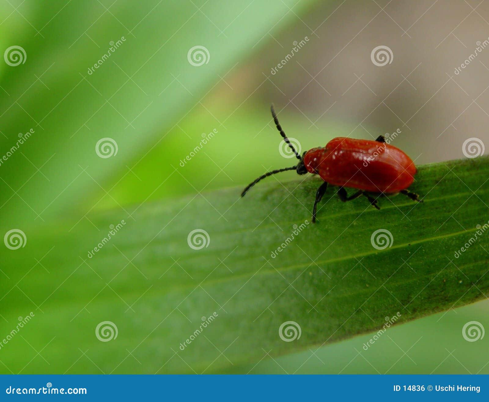 Czerwony robaki