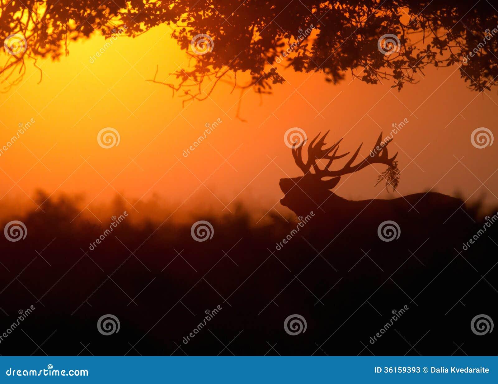 Czerwony rogacz przy świtem (Cervus elaphus)