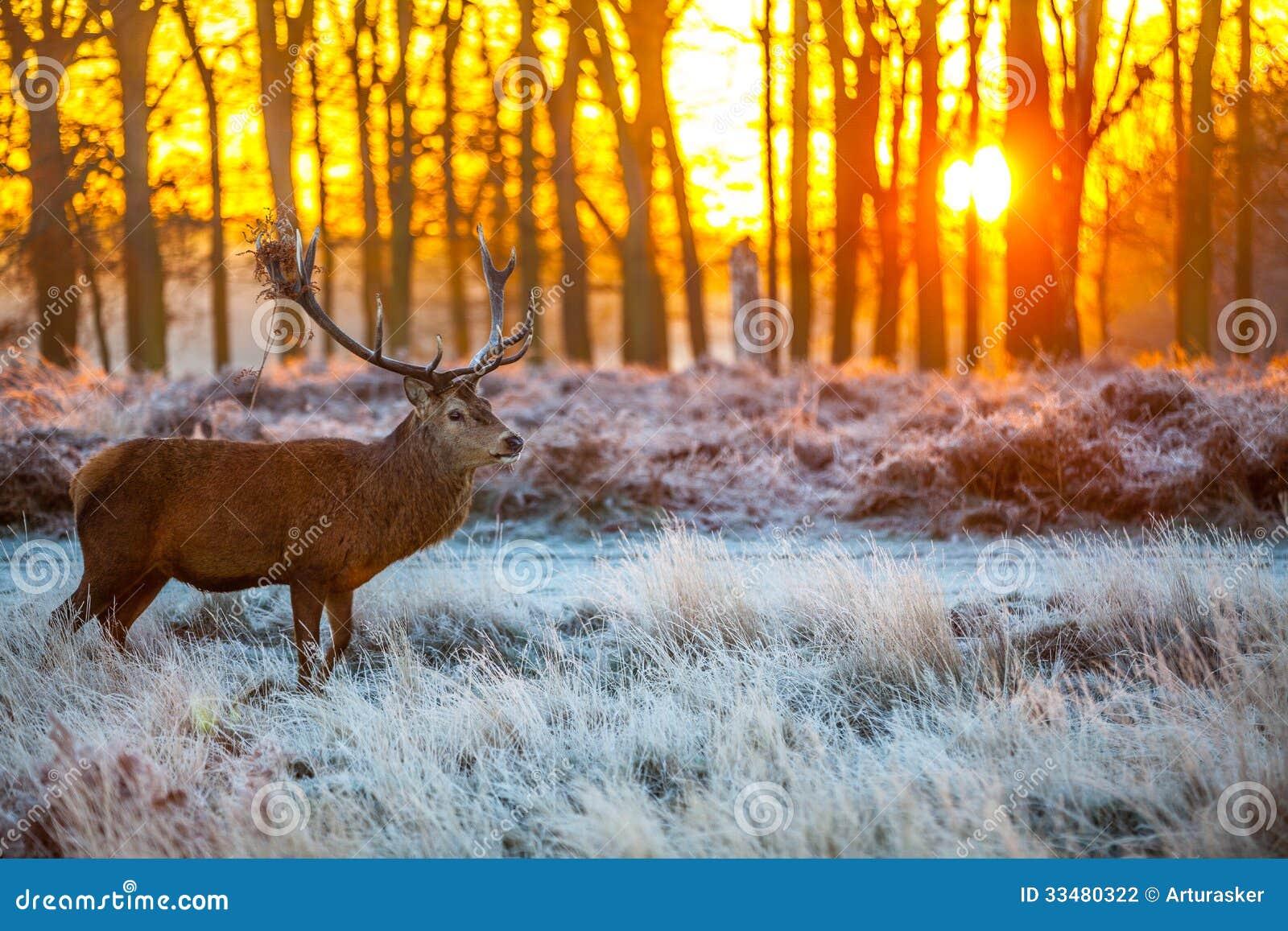 Czerwony rogacz w ranku słońcu