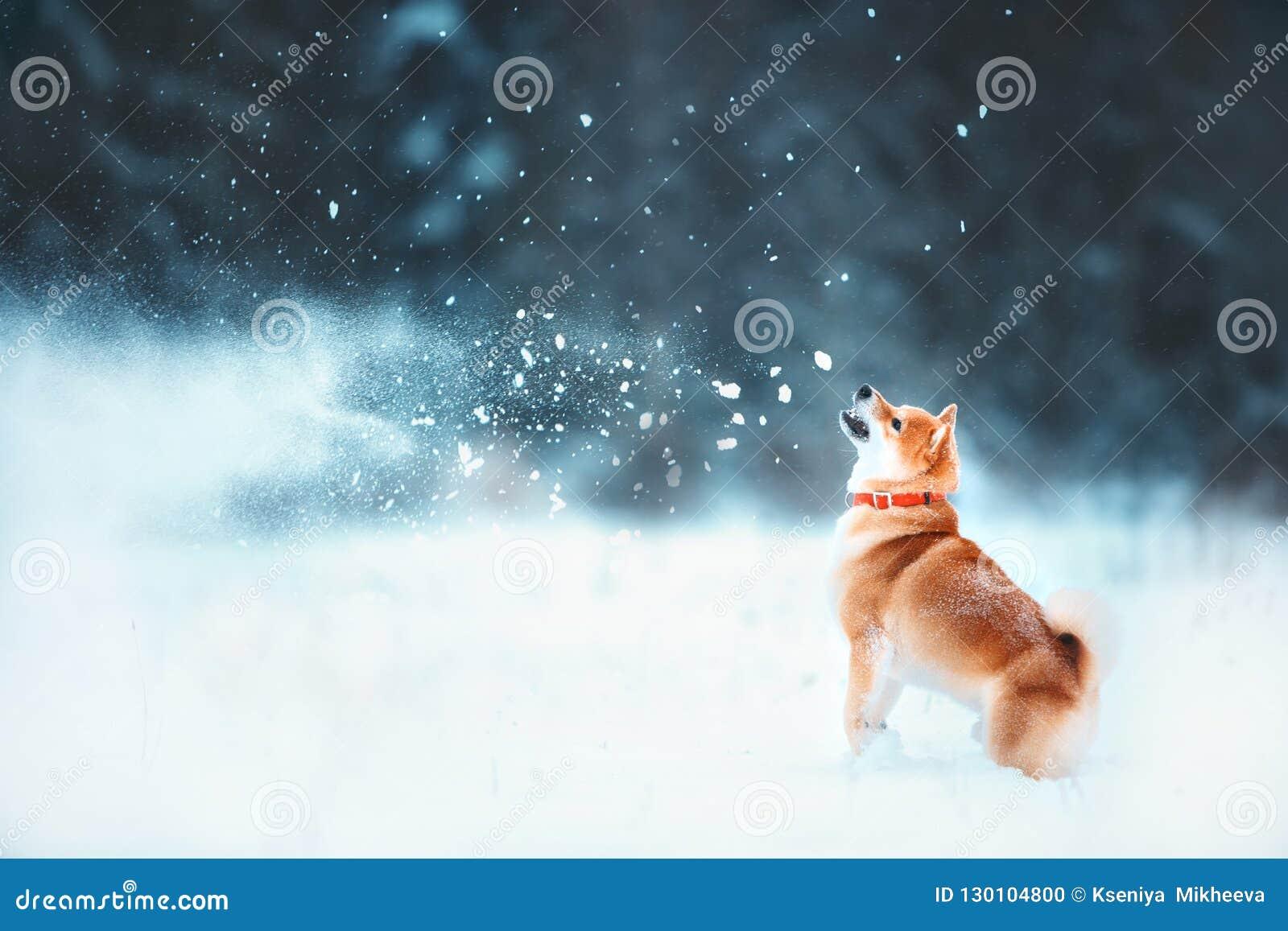 Czerwony siba pies biega na skłonie Pogodnej zimy śnieżysty las bawić się śnieg przy zimą