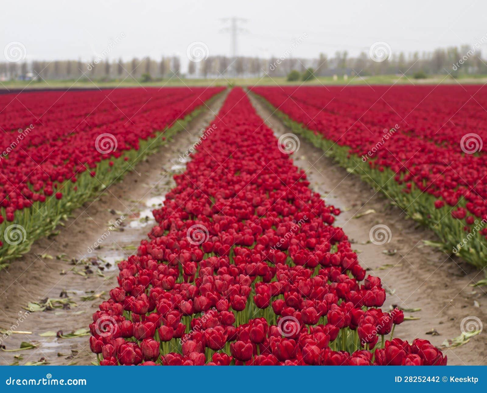 Czerwony tulipanu pole