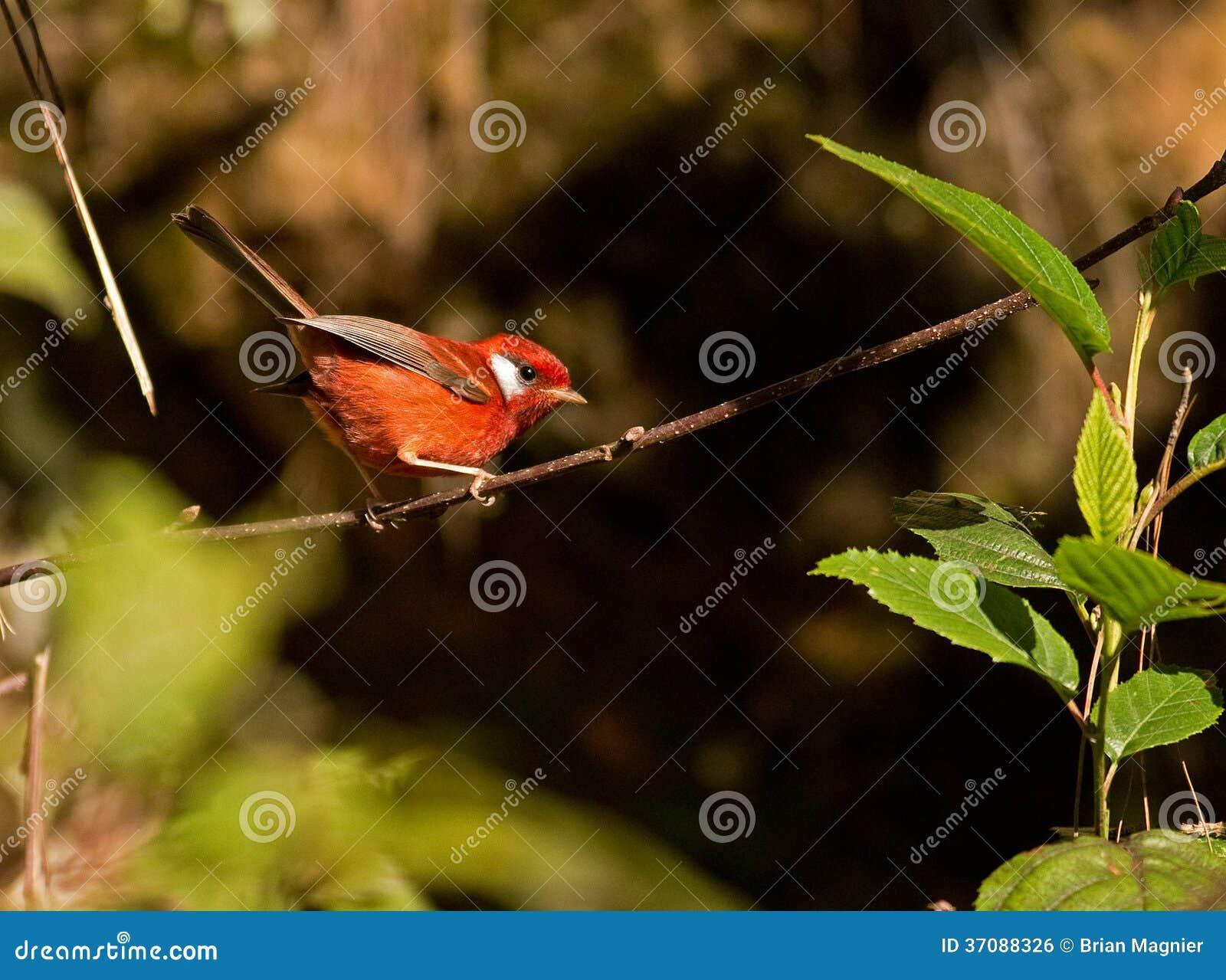 Download Czerwony Warbler zdjęcie stock. Obraz złożonej z czerwień - 37088326