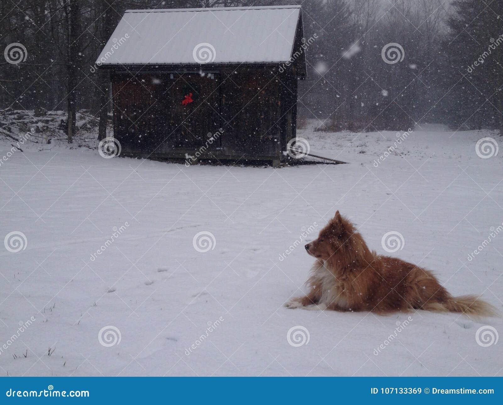 Czerwony wilk W śniegu stajnią