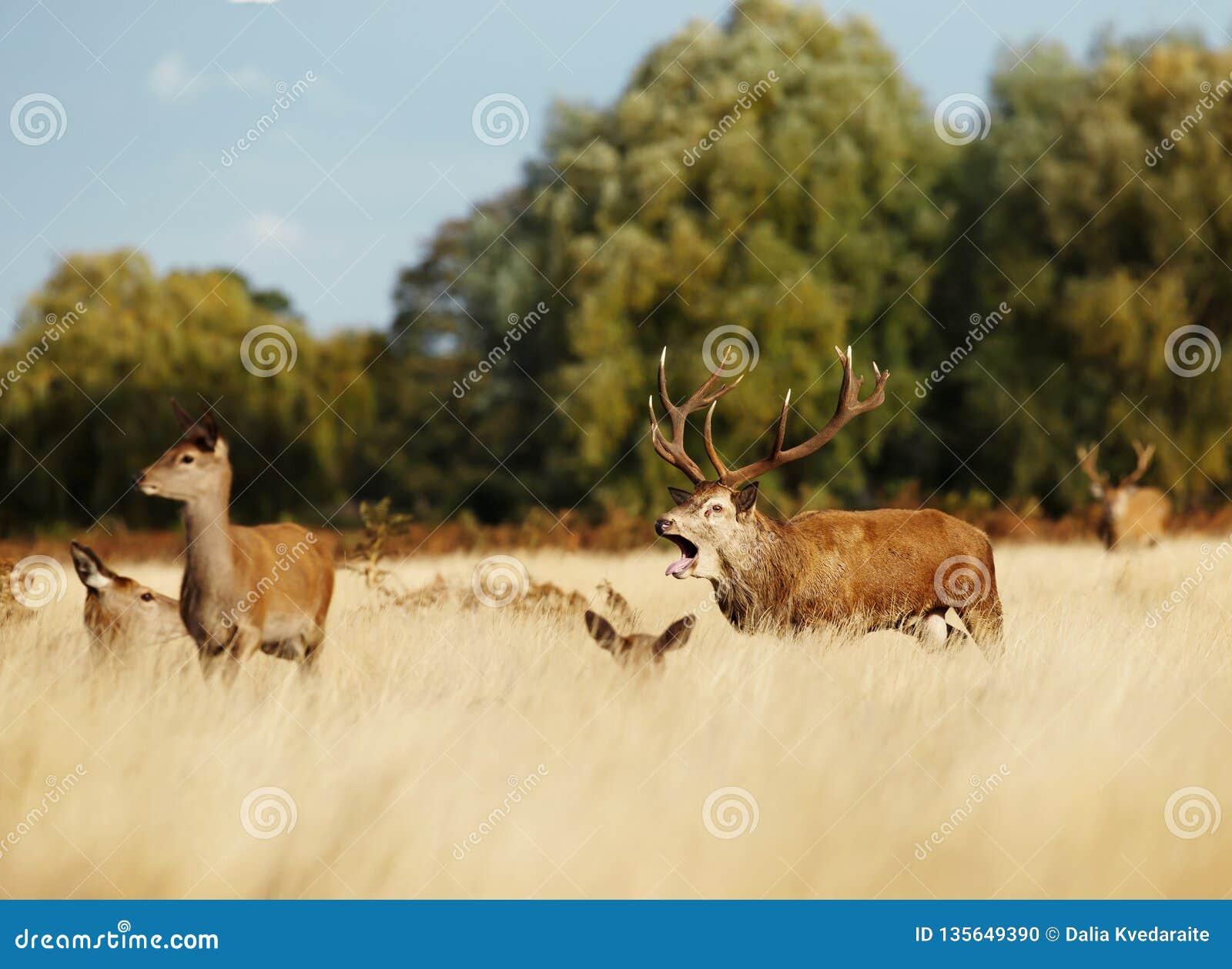 Czerwonych rogaczy jeleń bellowing wśród grupy łanie