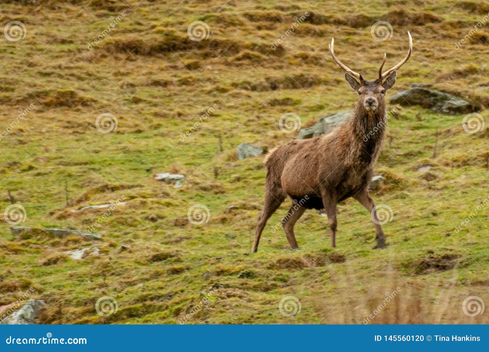 Czerwonych rogaczy jeleń dostrzegający na średniogórzach Szkocja
