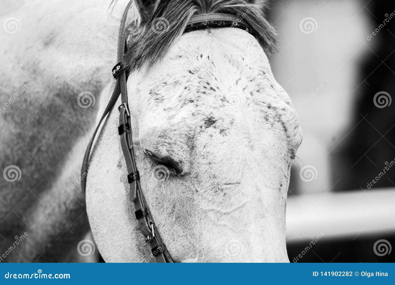 Czoło biegowy koń w monochromu