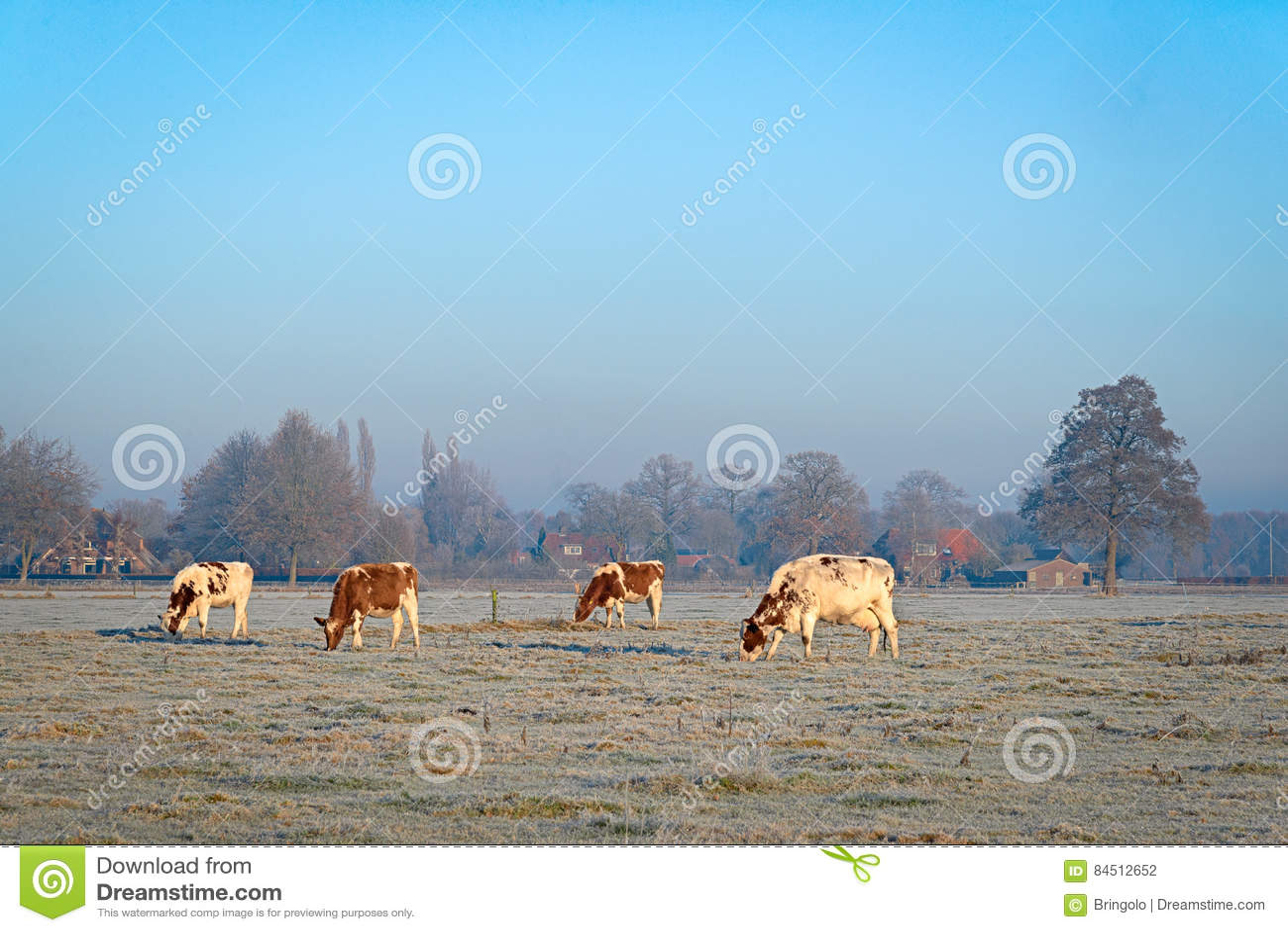 Cztery krowy na łące zakrywającej z hoarfrost