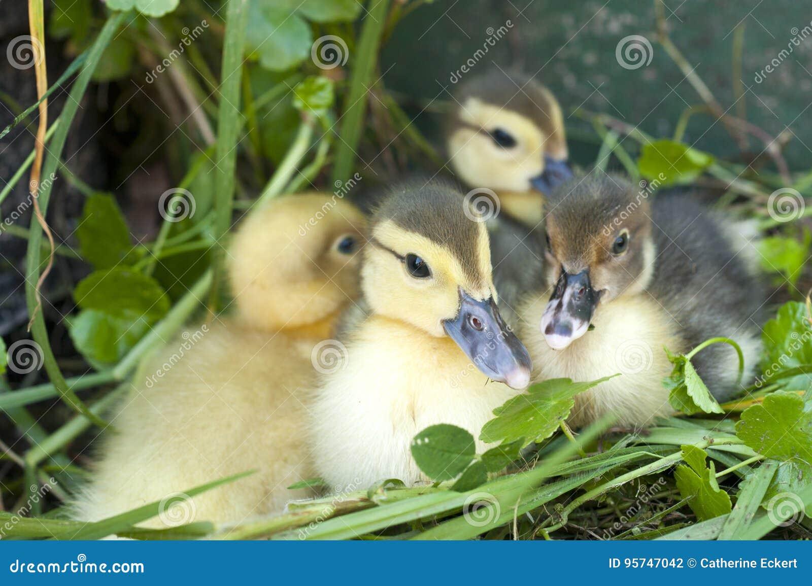 Cztery małej kaczki