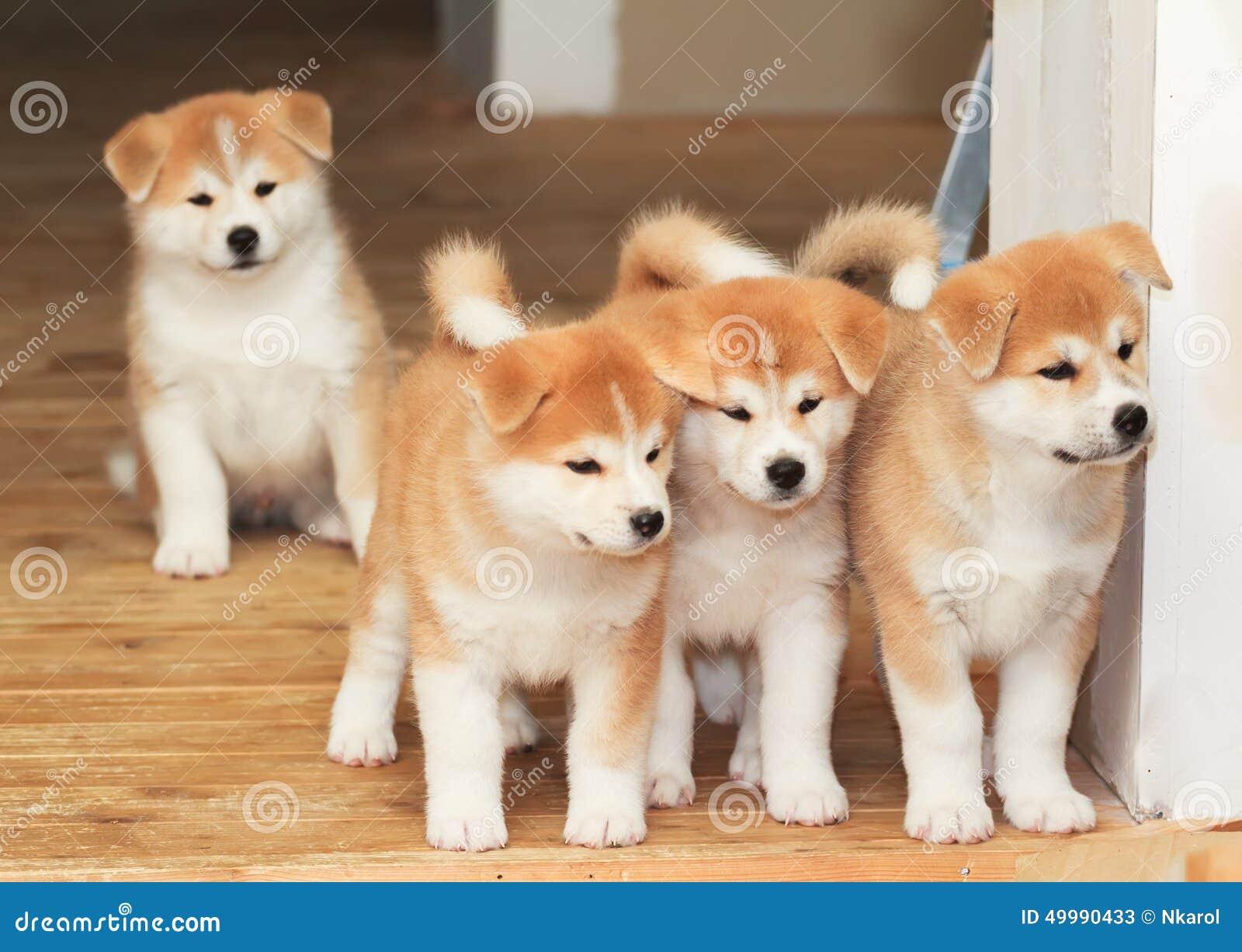 Cztery szczeniaka japończyka Akita trakenu pies