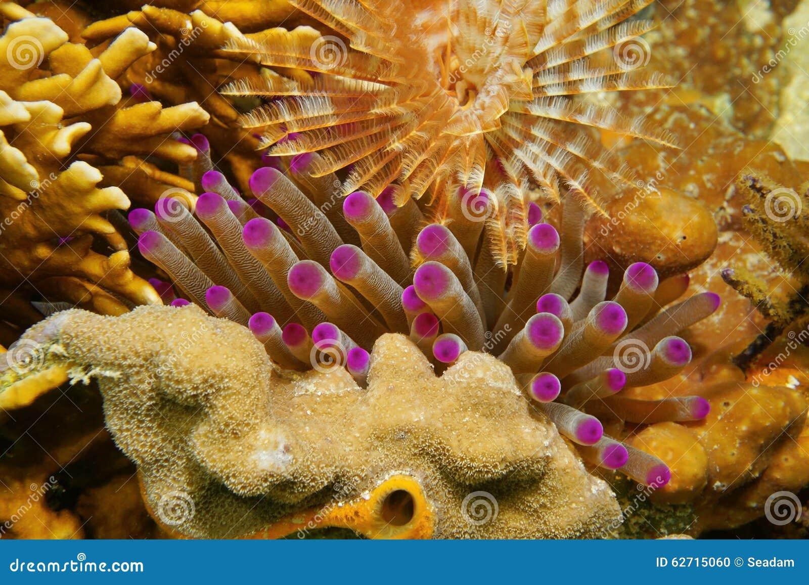 Czułki denny anemon między koralem i dżdżownicą