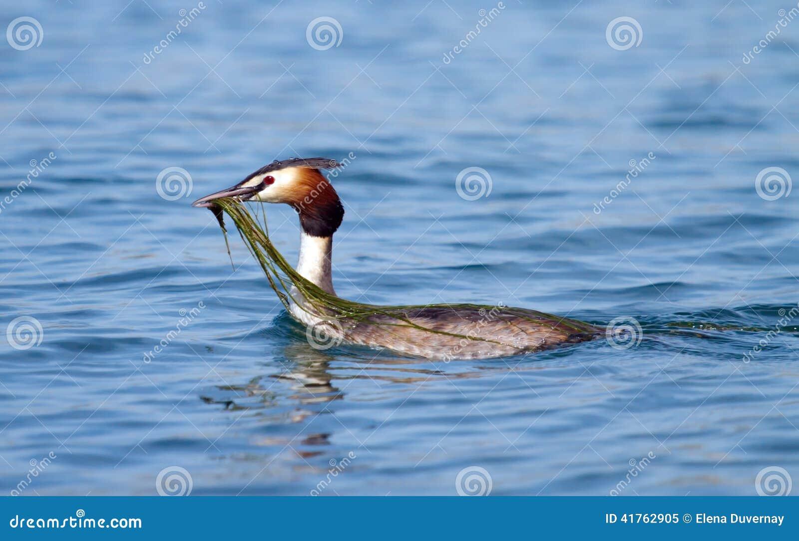 Czubata perkoz kaczka (podiceps cristatus)
