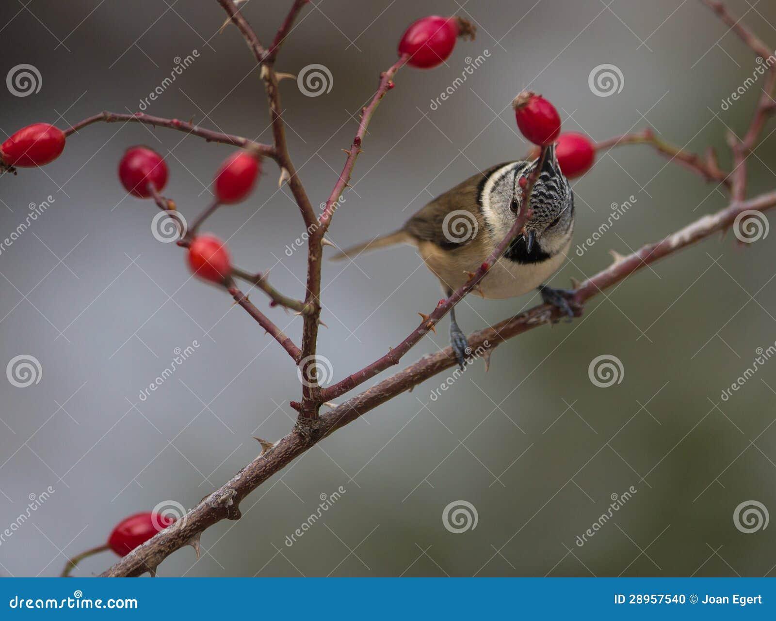 Czubaty Tit z czerwonymi owoc