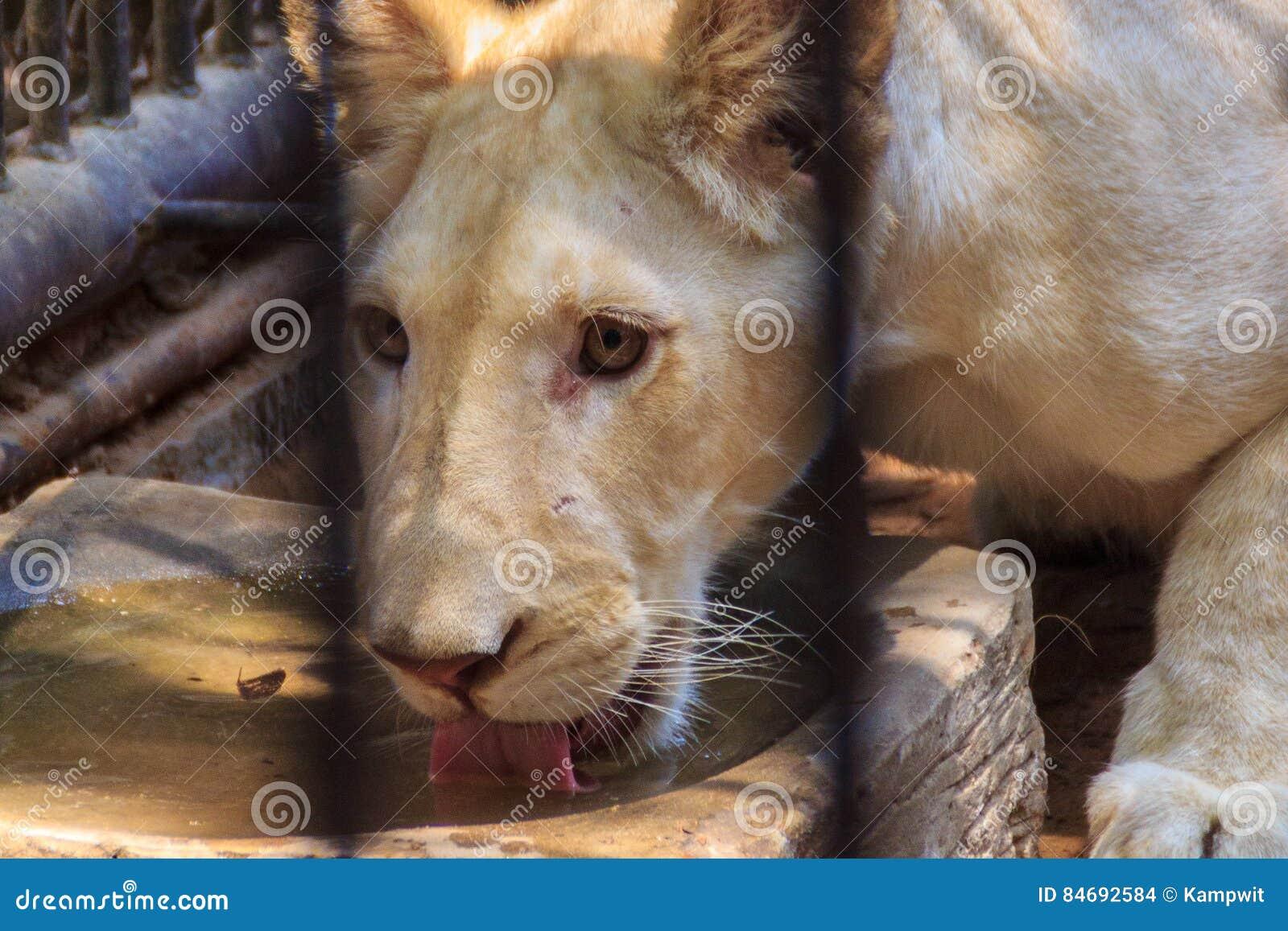 Czuje politowanie młody biały lew w klatce