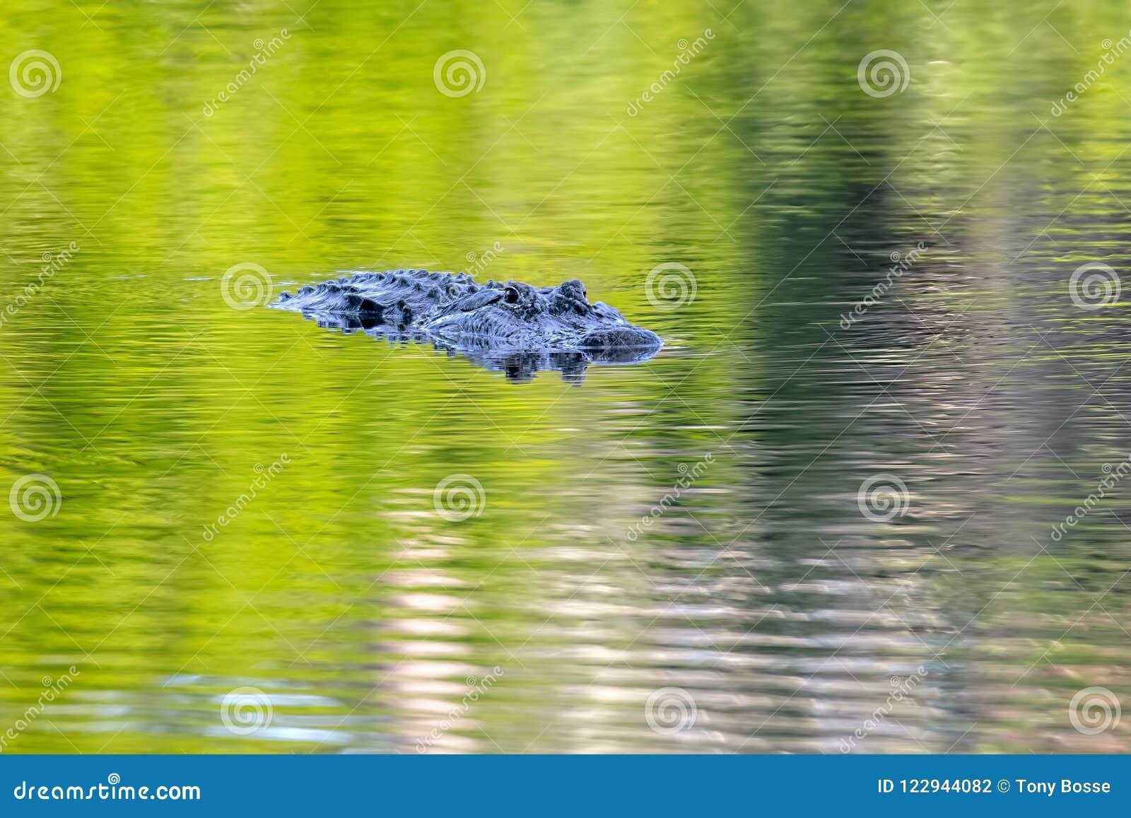 Czujny Amerykański aligator Na zieleni wodzie