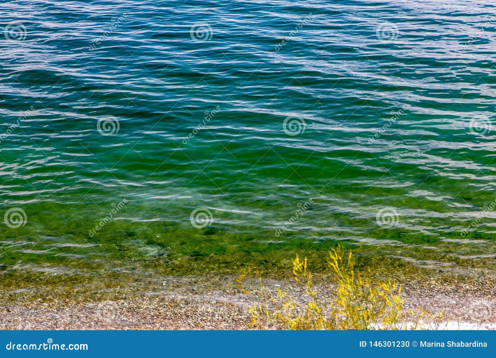 Czysta falista zielonawoniebieska Baikal woda z żółtą rośliną na brzeg