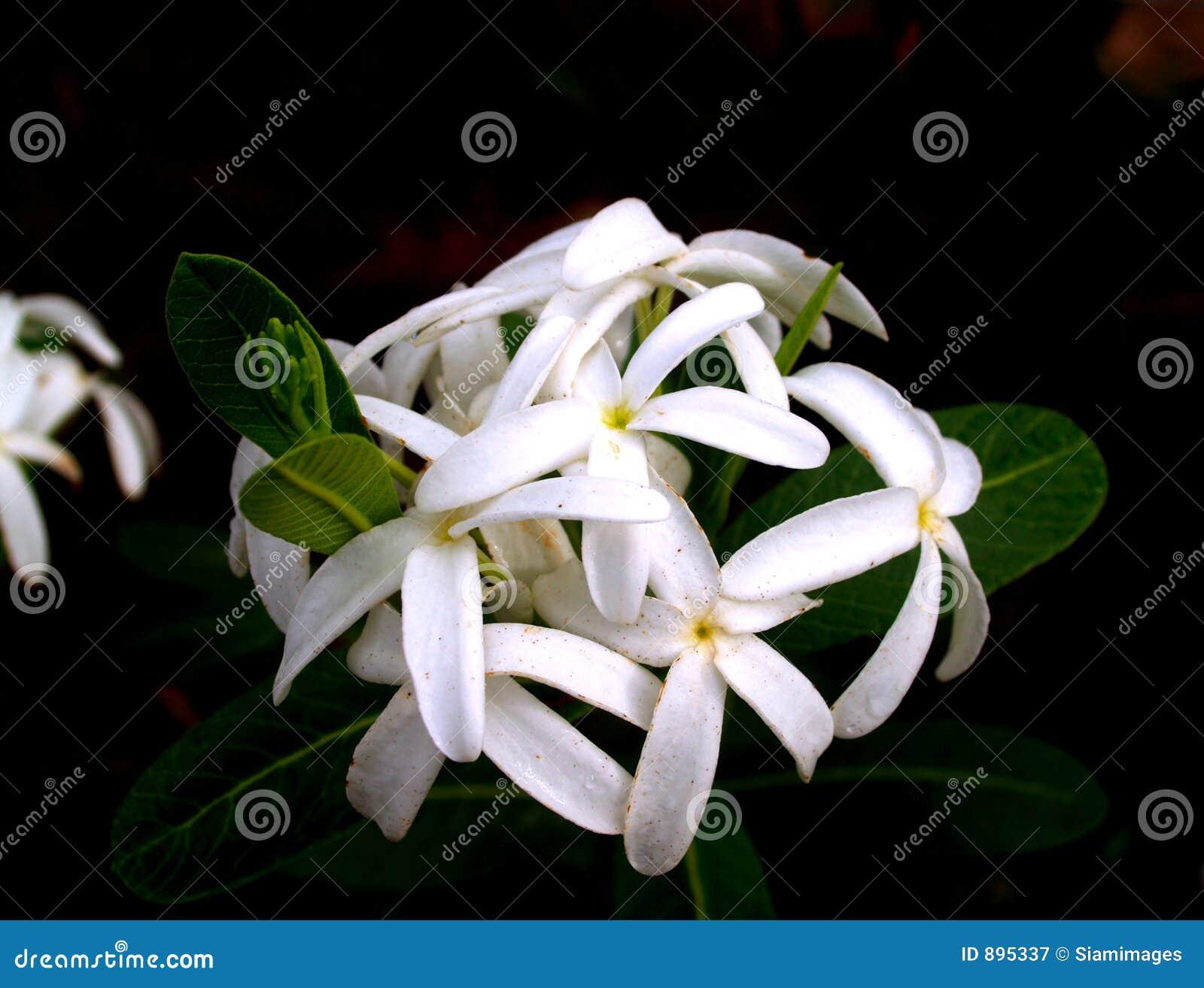 Czysty 1 kwiat