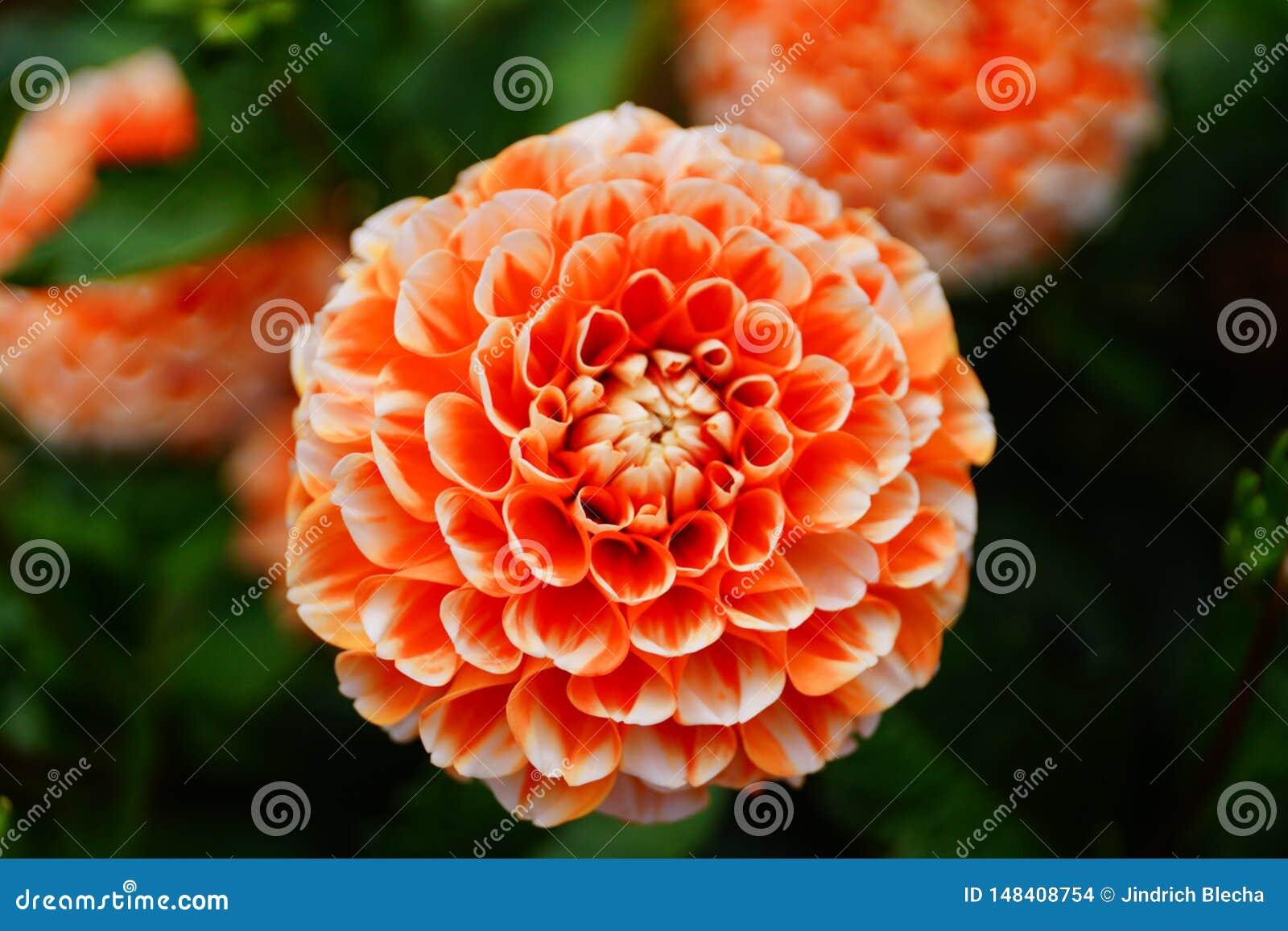 Dália na flor