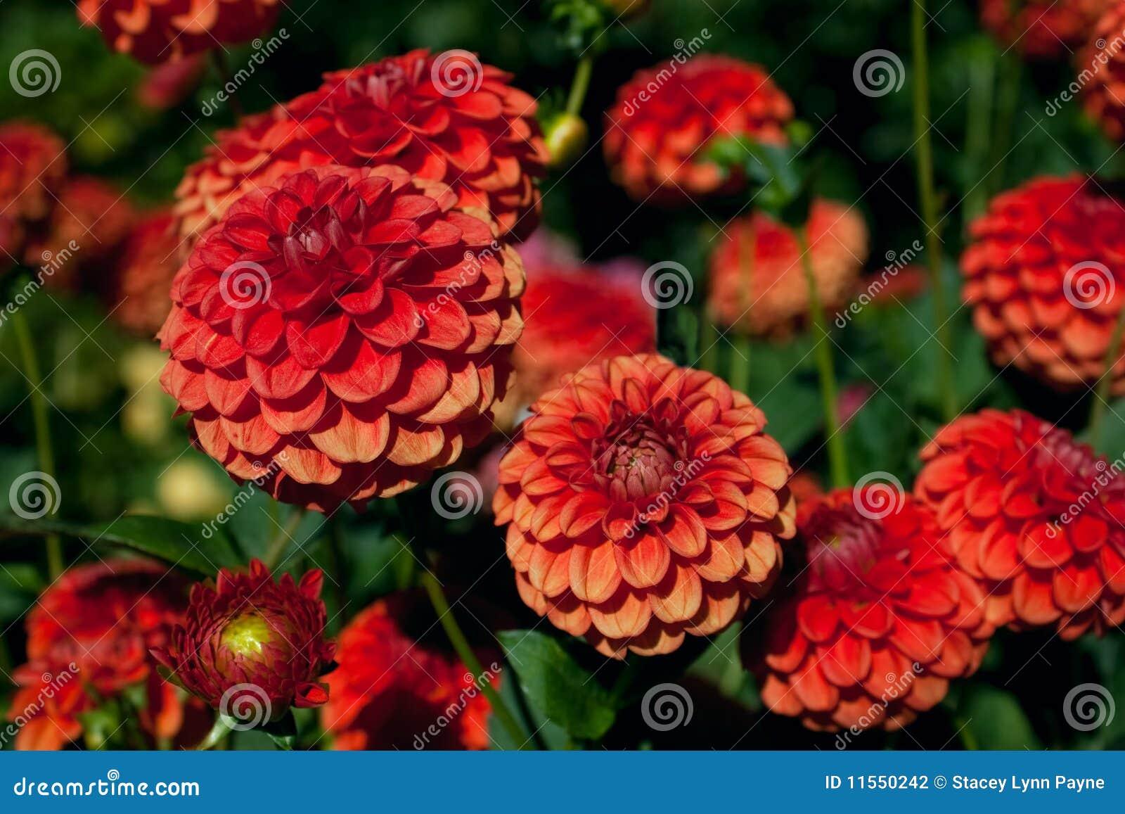jardim rosas vermelhas:Um jardim de flores vermelhas e alaranjadas da dália de encontro a um