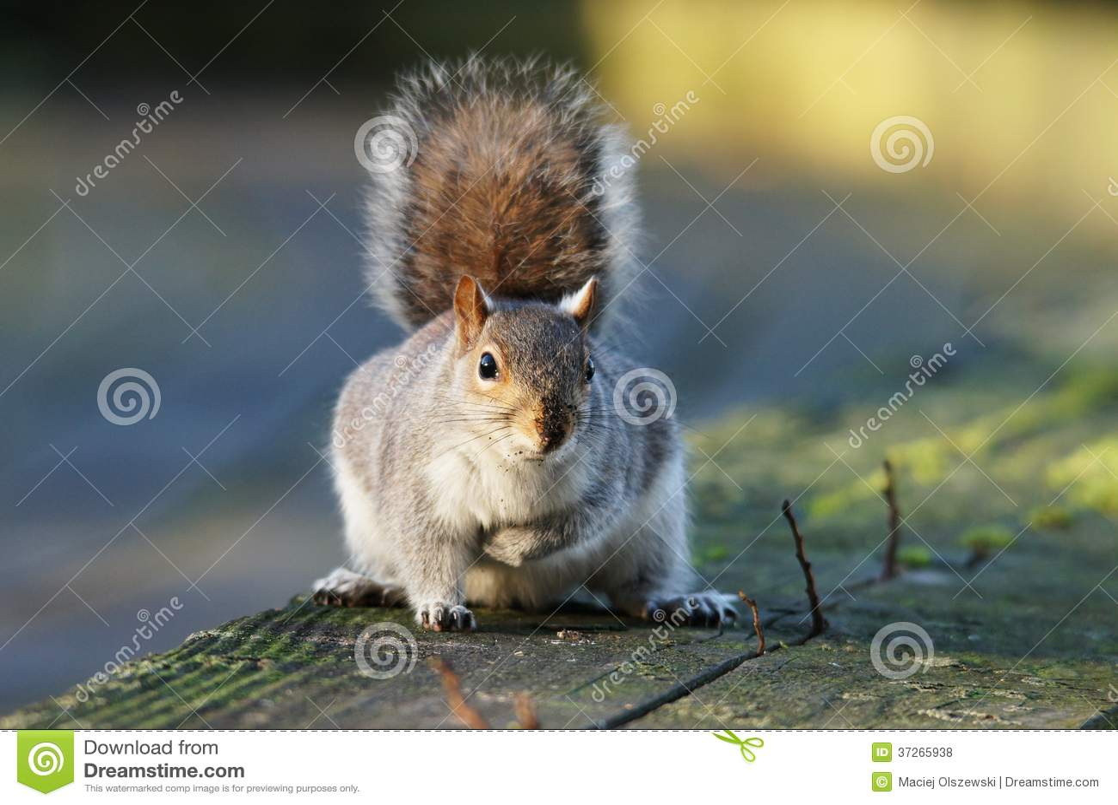 DÄGGDJUR - Gray Squirrel