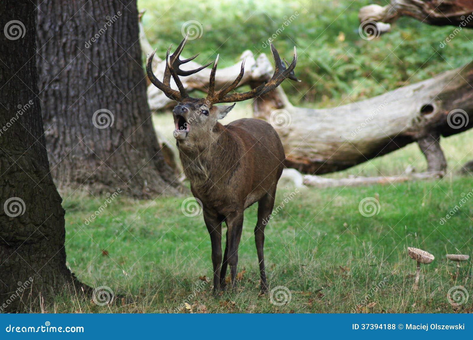 DÄGGDJUR - Röda hjortar