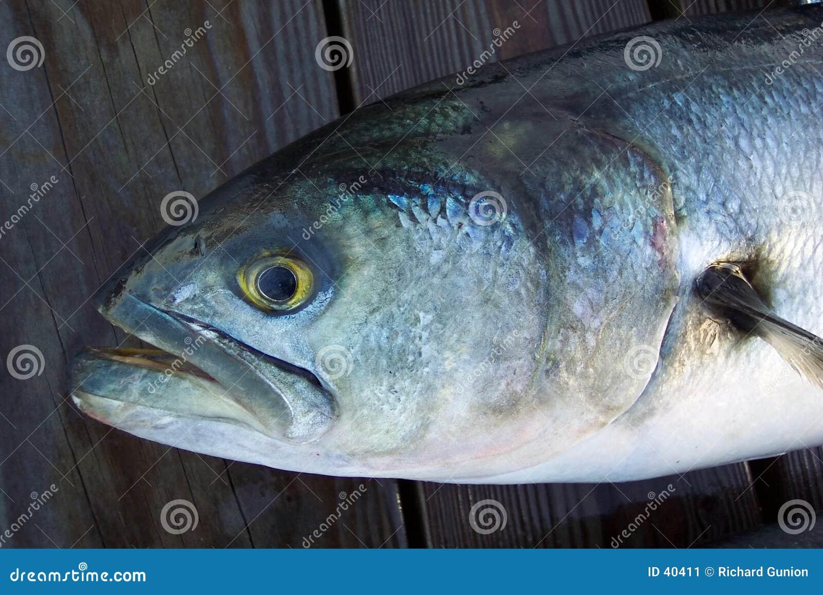 Dålig stor blåfisk