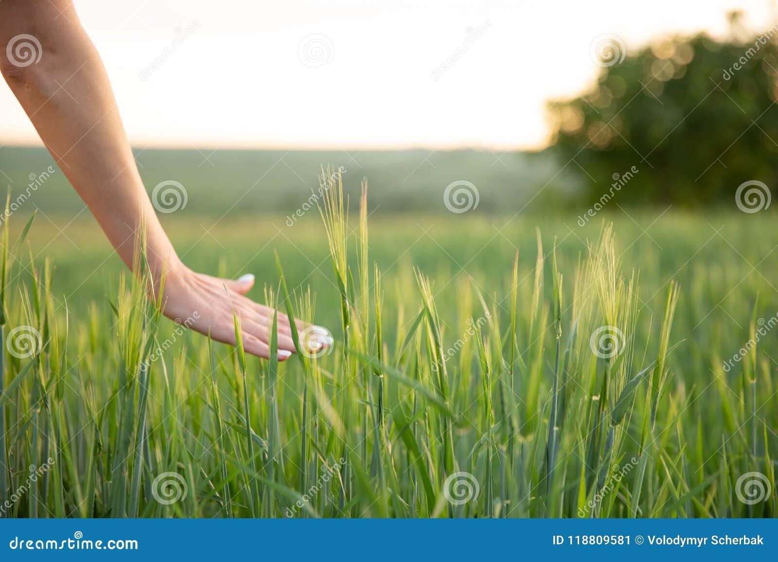 Dé los puntos conmovedores del trigo con su mano en la puesta del sol en hierba