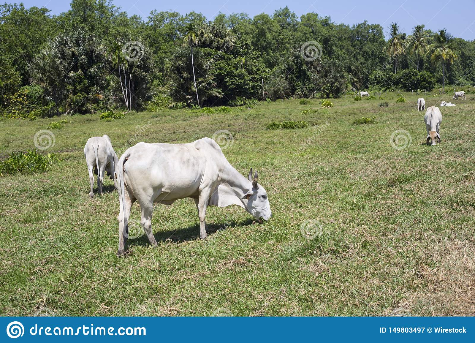 Déboisement pour des bétail, Guyane française française